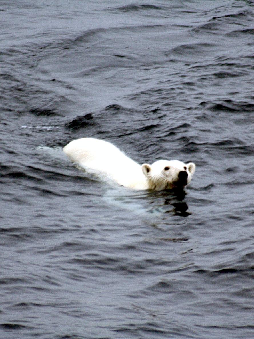 polar bear arctic ice free swimming