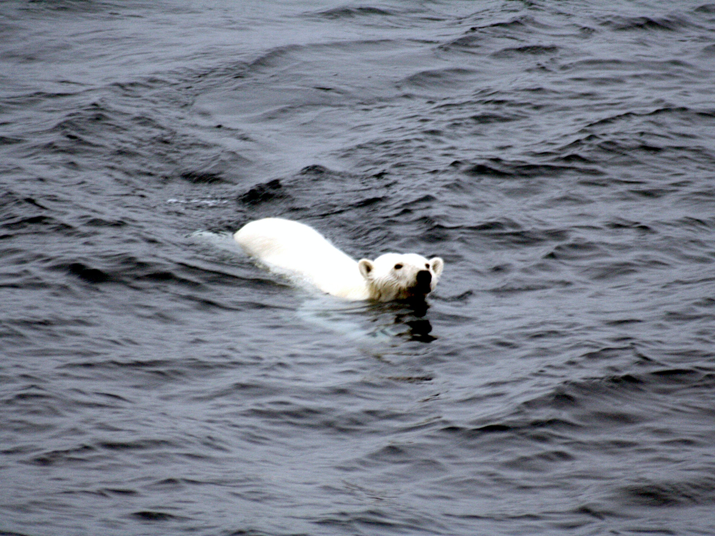 polar bear arctic ice free swimming