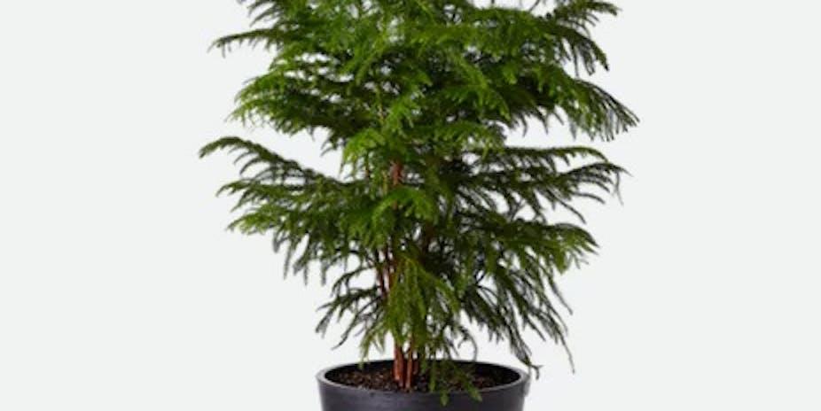 Bloomscape Norfolk Pine