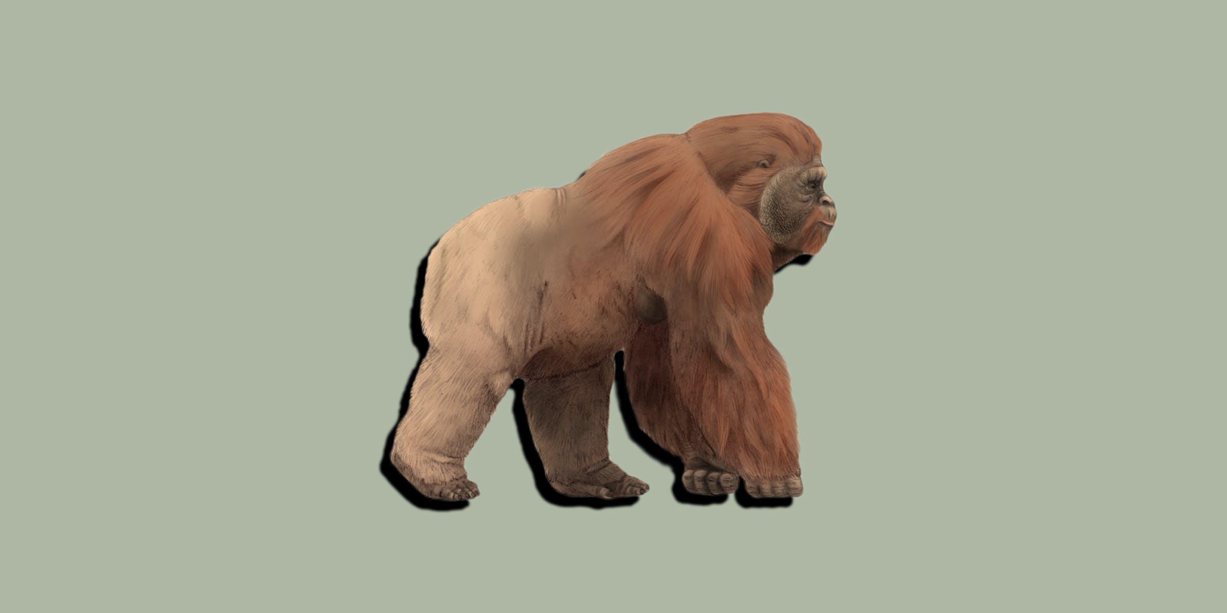 An artist imagines gigantopithecus.