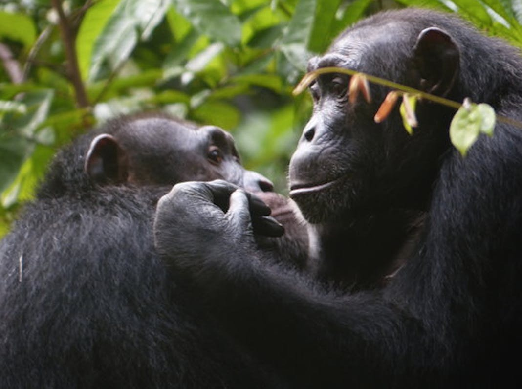 Suspicious Chimps Protect Friendships and Relationships at