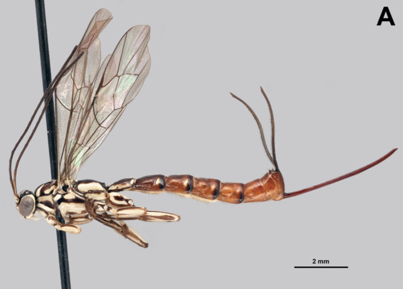 Clistopyga isayae, like other membrs of its genus, has a wild looking ovipositor, an adapted stinger through which it lays eggs.