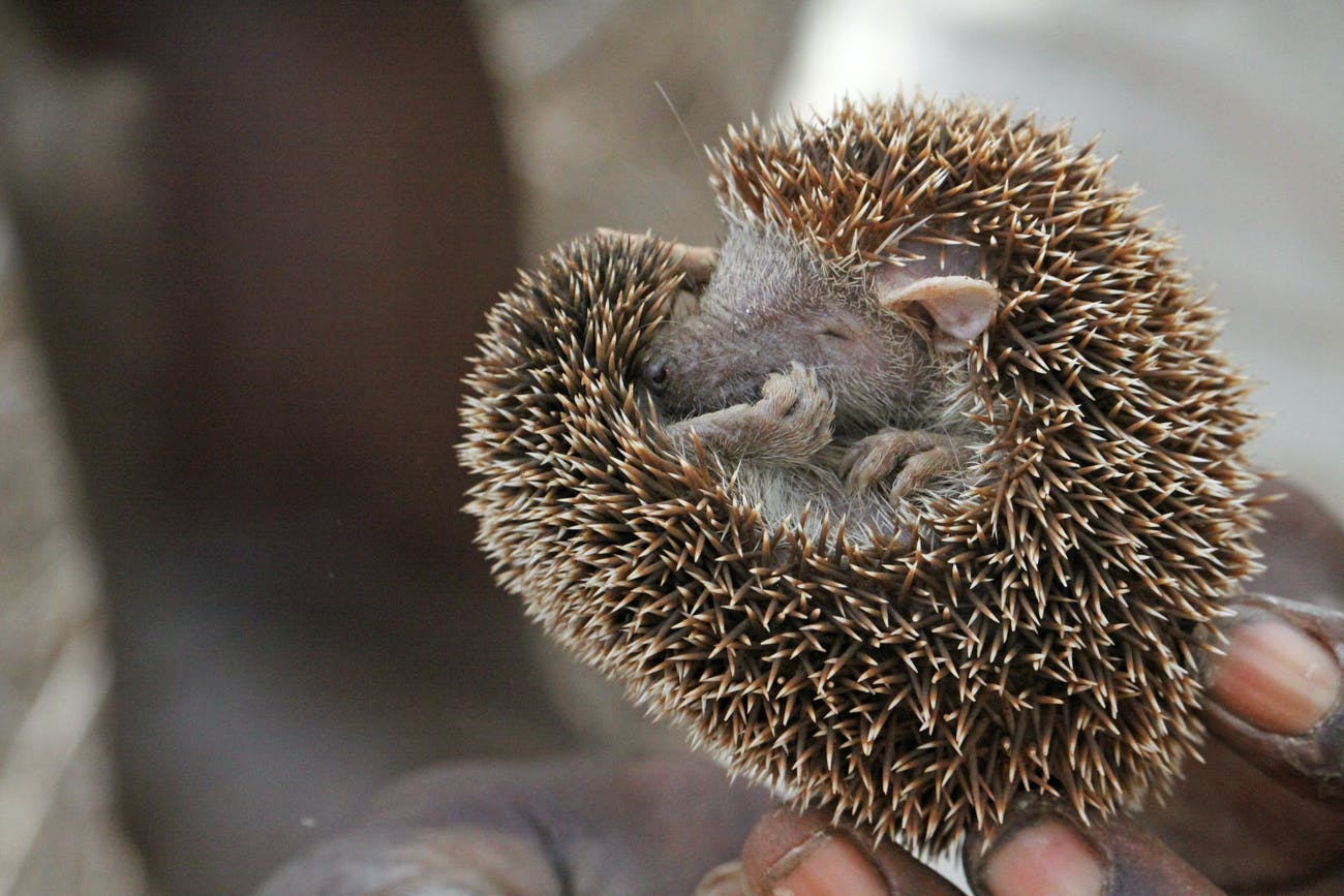 Little Tenrec