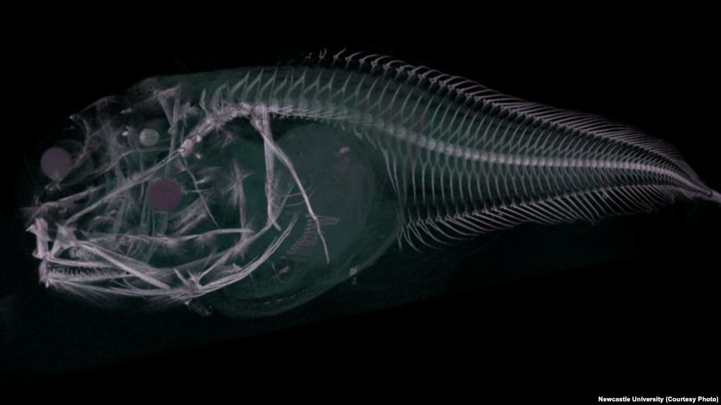 Why Scientists Searched 7,000 Meters Below Sea Level for a Winged Fish