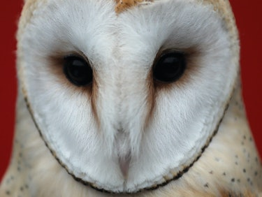 Israelis and Palestinians Find Common Ground in Barn Owls
