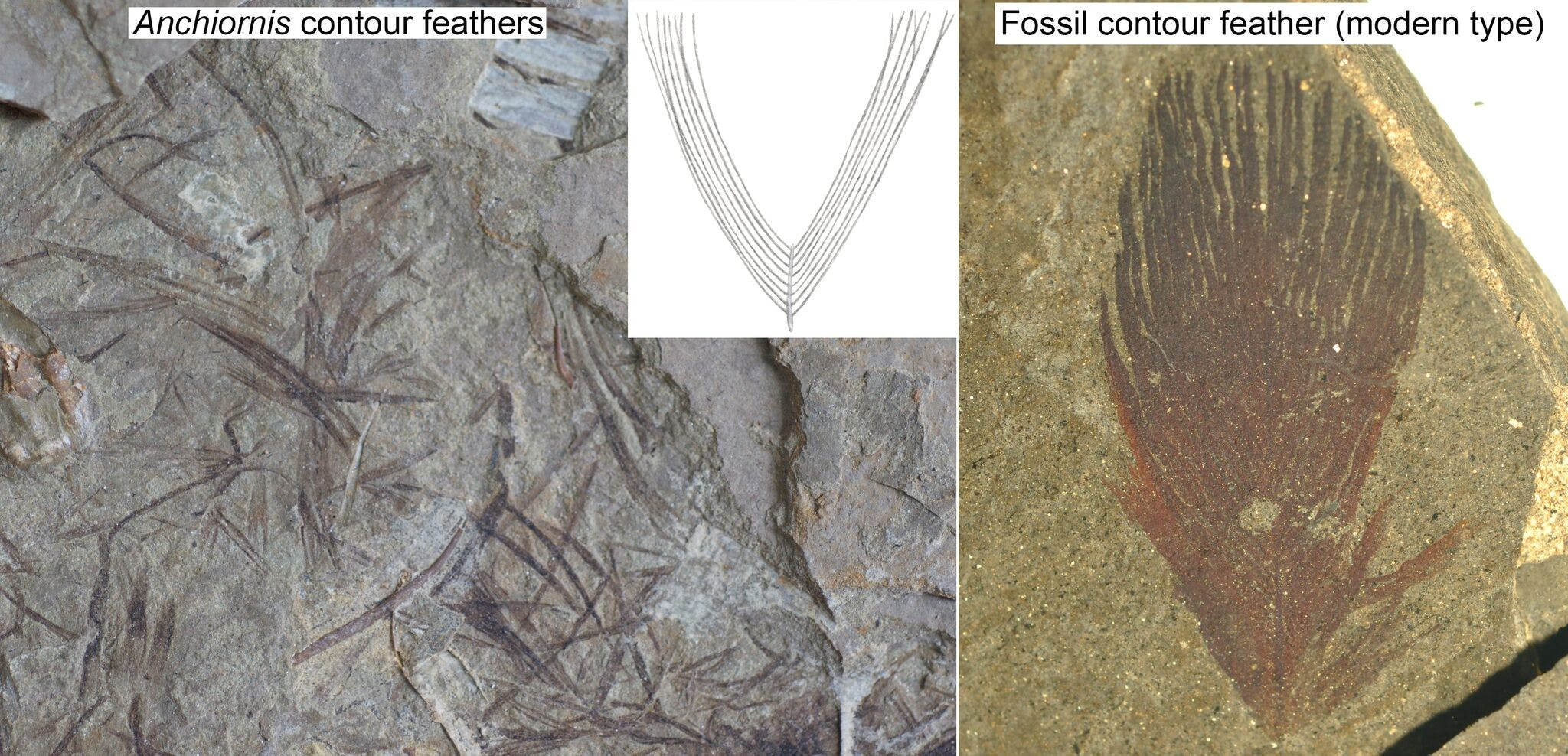 anchiornis fAnchiornis had feathers whose barbs didn't zip together like modern birds' feathers.
