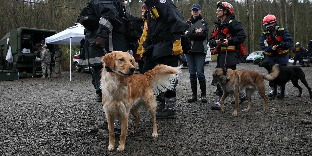 Cadaver dogs search and rescue golden retriever