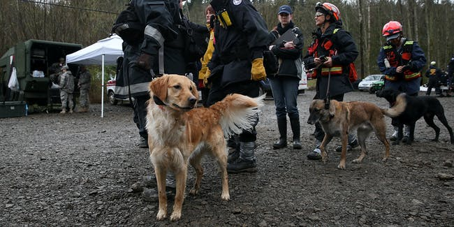 Cadaver dogs search and rescue golden retriever
