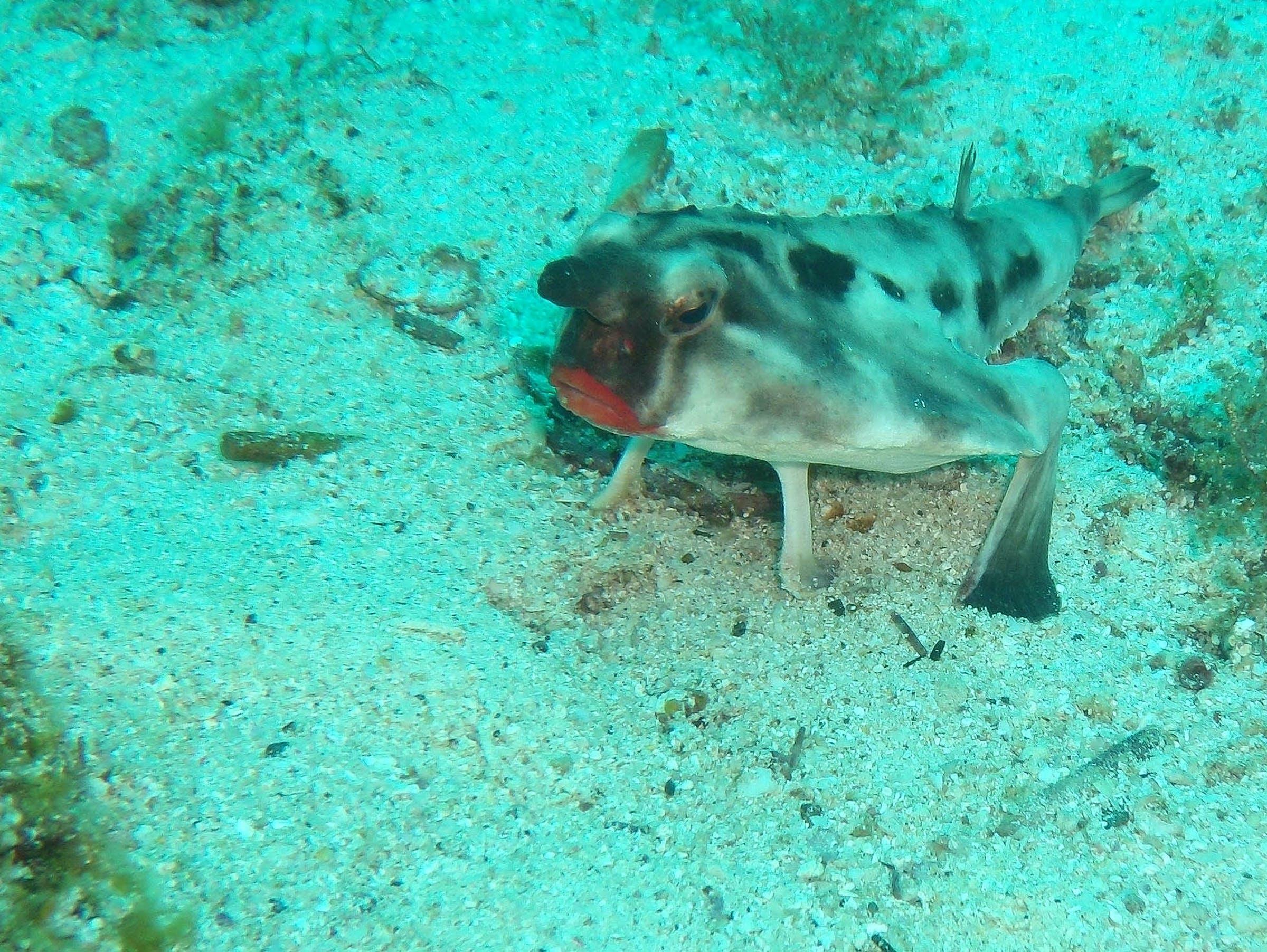 Red-lipped Bat fish @ Galapagos