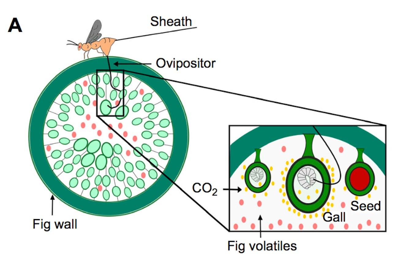 fig wasp diagram