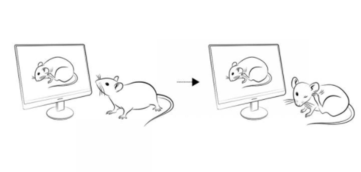 When researchers showed a mouse a video of another mouse scratching, the live mouse began scratching, too.