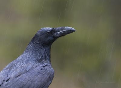 Raven in the rain