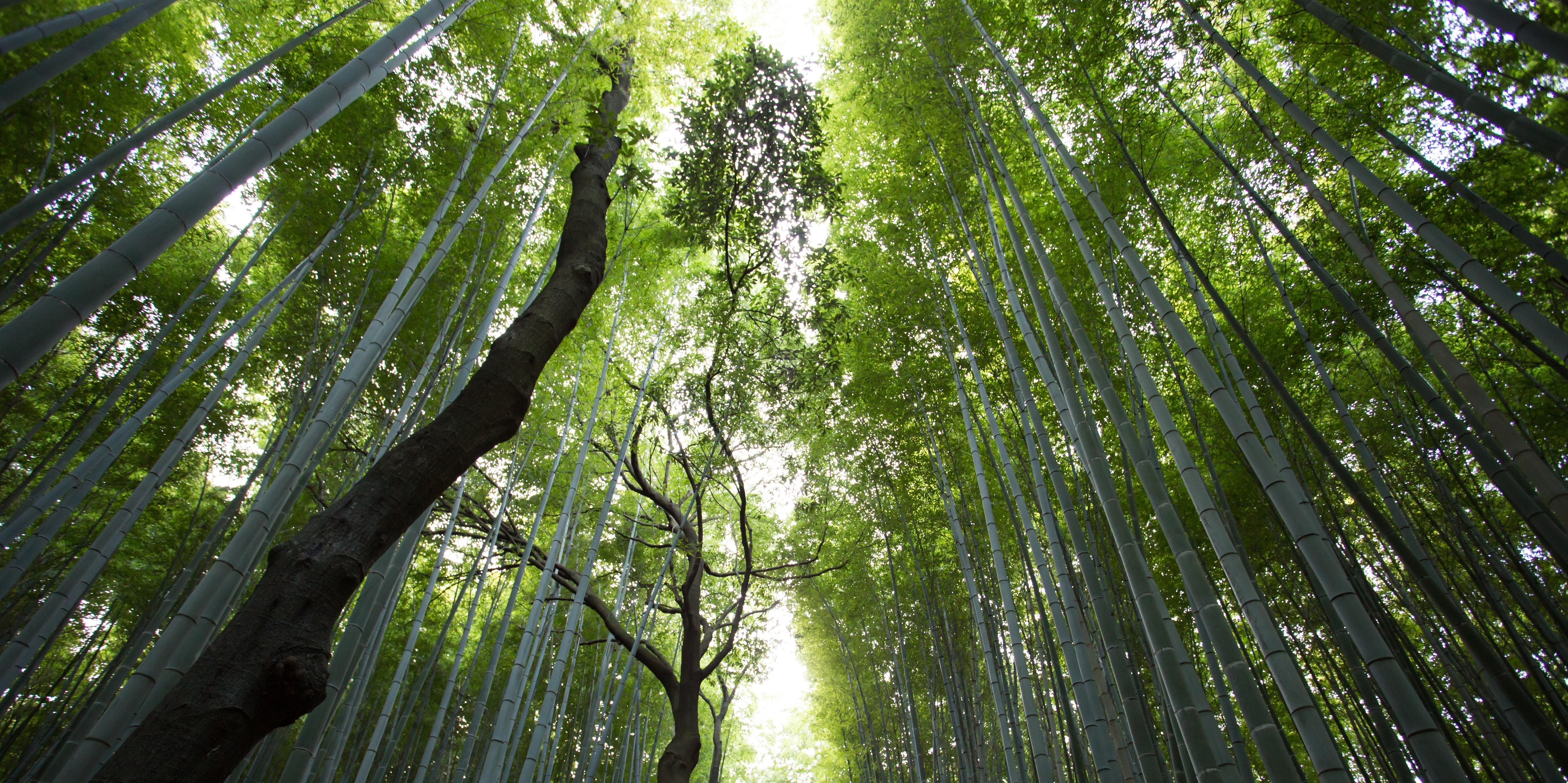 Trees genetically modified climate change