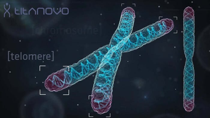 Telomeres at the ends of chromosomes get shorter every time a cell copies its DNA, but external factors can speed up the process.
