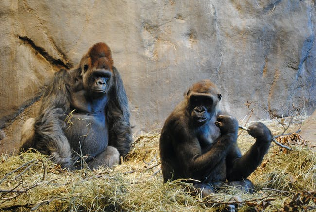 Two apes relaxing