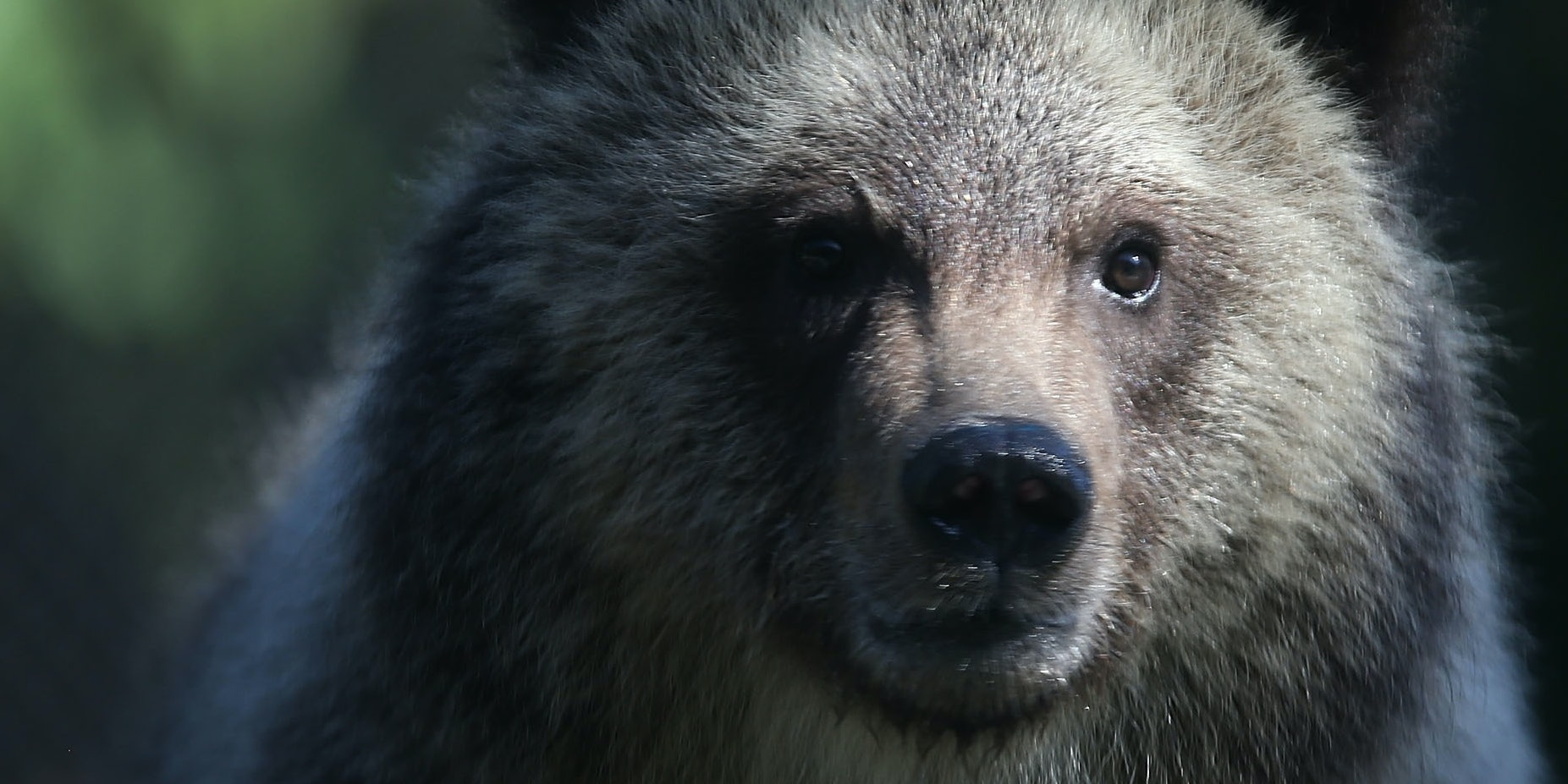 WEST PALM BEACH, FL - DECEMBER 17:  Grizzly bear cub named Juneau stands during her first day out in the public at the Palm Beach Zoo on December 17, 2015 in West Palm Beach, Florida.  The Zoo will host two-orphaned female grizzly bear cubs until their new permanent home in a South Dakota zoo is completed.  (Photo by Joe Raedle/Getty Images)