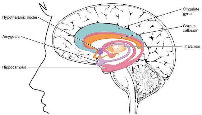 amygdala, brain