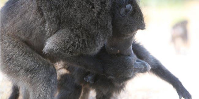 baboon sexual intimidation