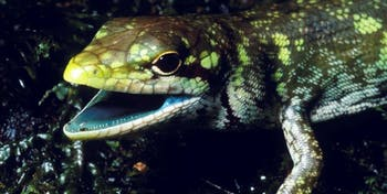 Lizard, green blood, New Guinea