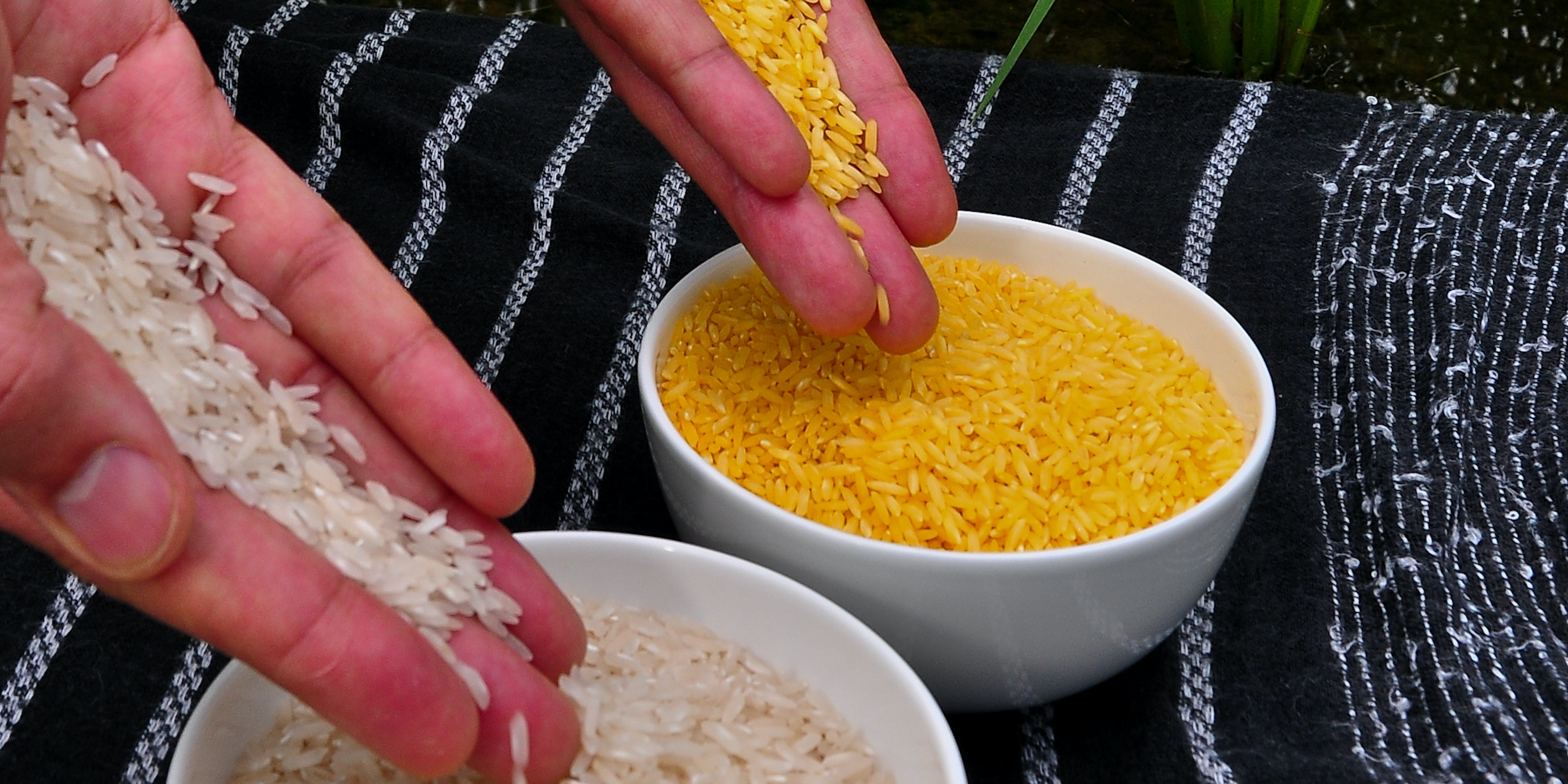 Can We Call Bill Gates's Golden Rice Experiment a Failure Yet?