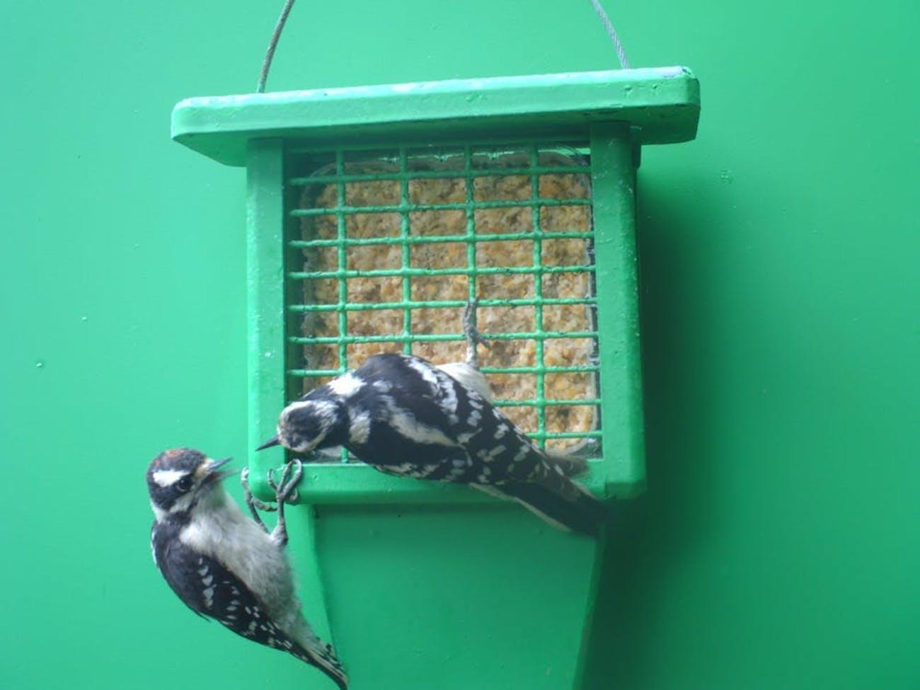 woodpecker female juvenile