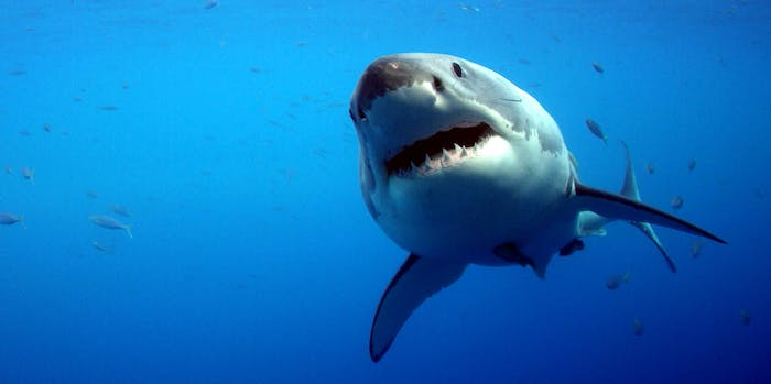 A baby great white shark.