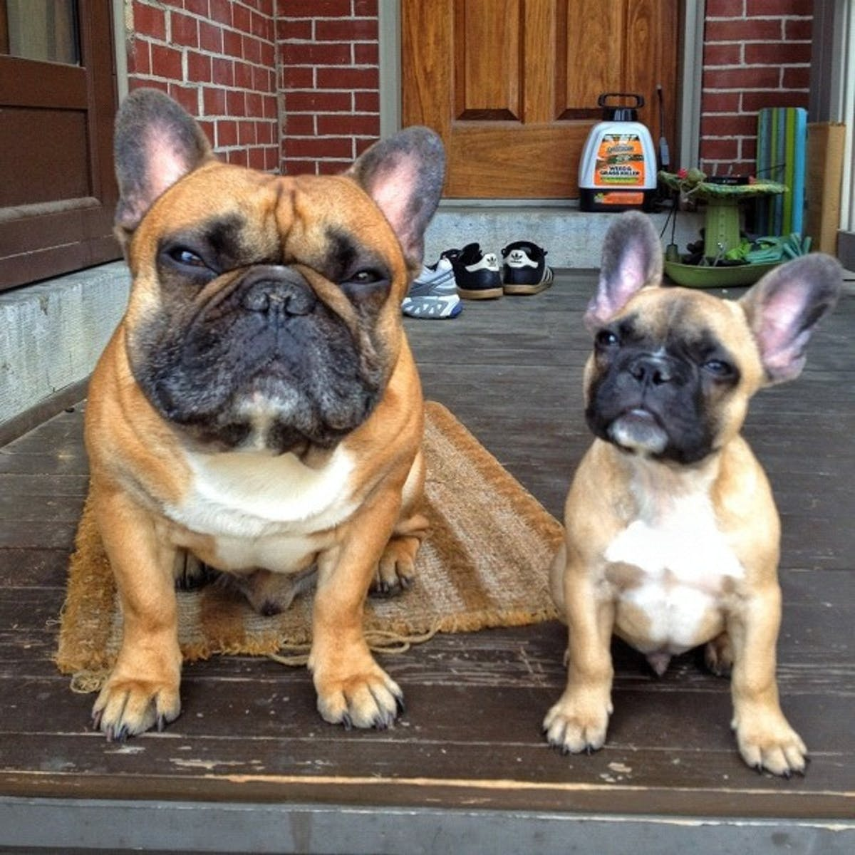 How Healthy Are French Bulldogs New Study Cautions Potential Owners