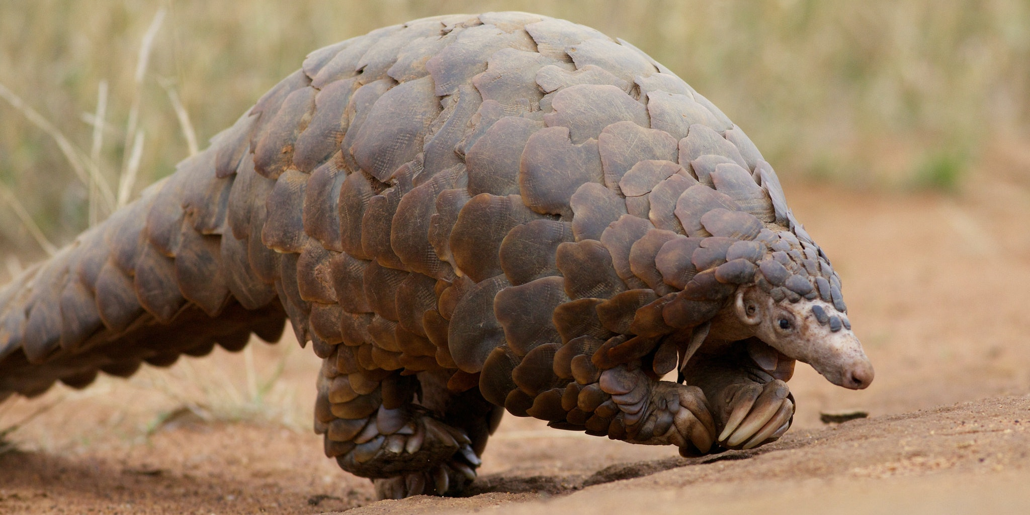 5 Facts About Pangolins That Prove They Are the Coolest