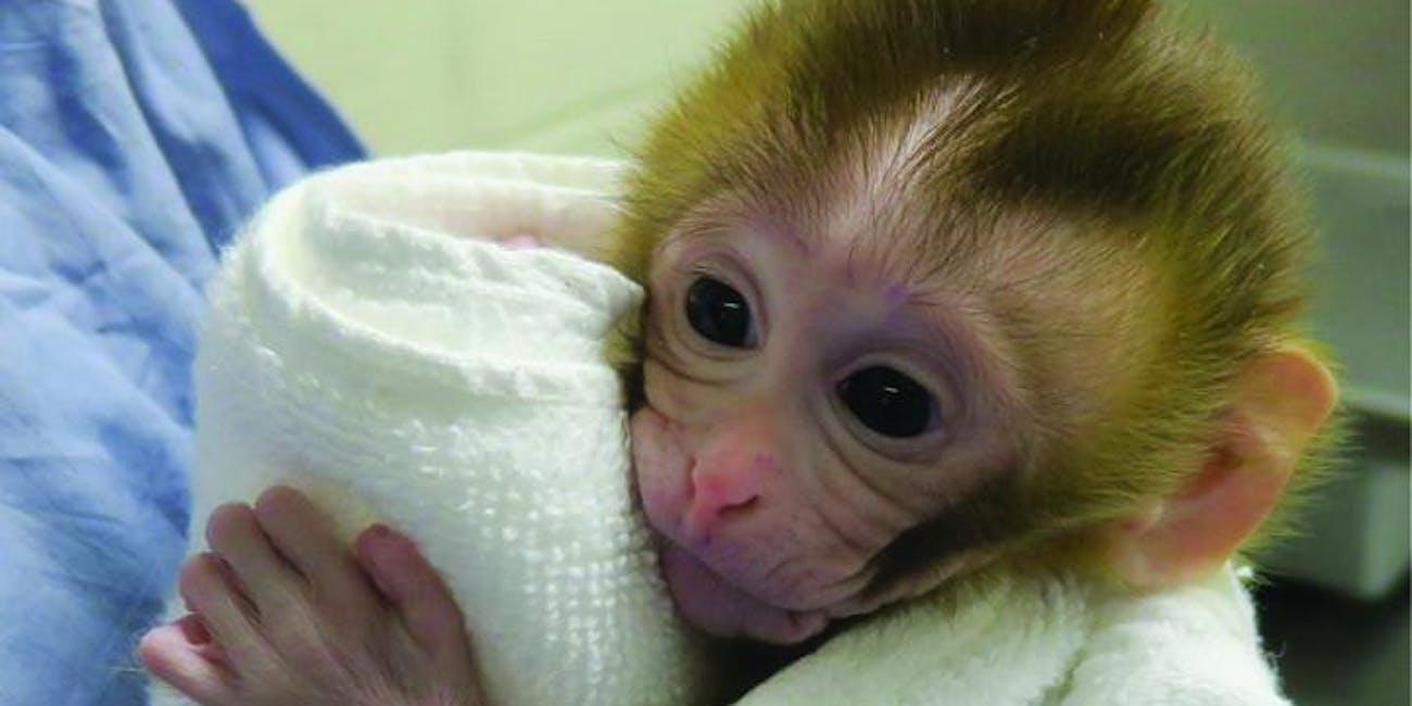 Grady, rhesus monkey