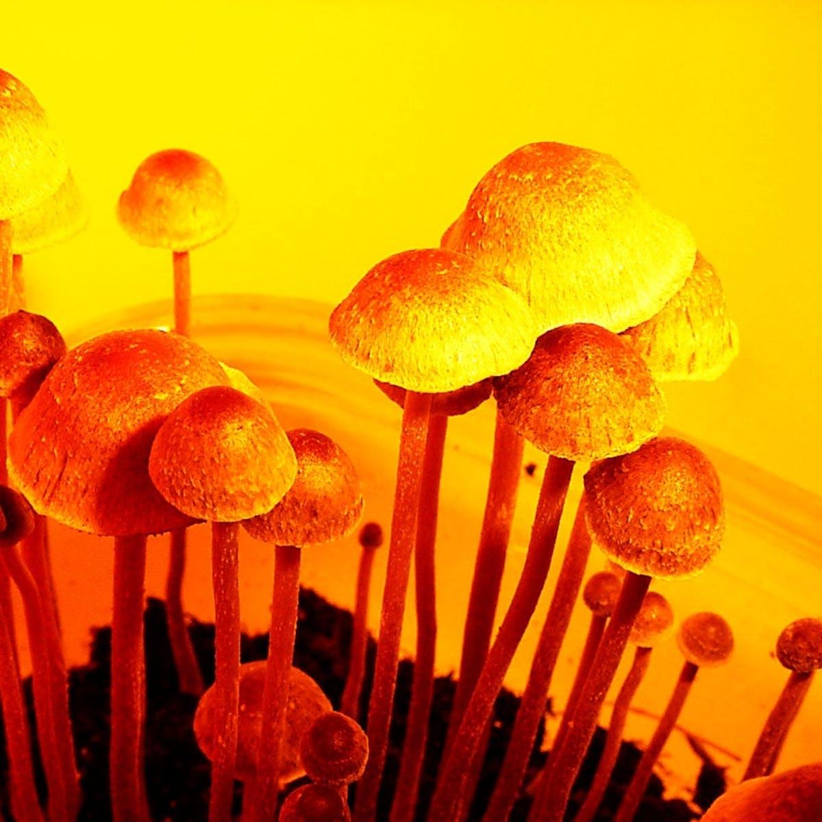 Psilocybin Mushrooms are the Future of Psychiatric Treatment