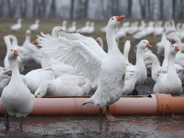 Shuttlecocks Can Only Be Made of the Left Wings of Geese