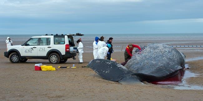 Whale Atlantic Death