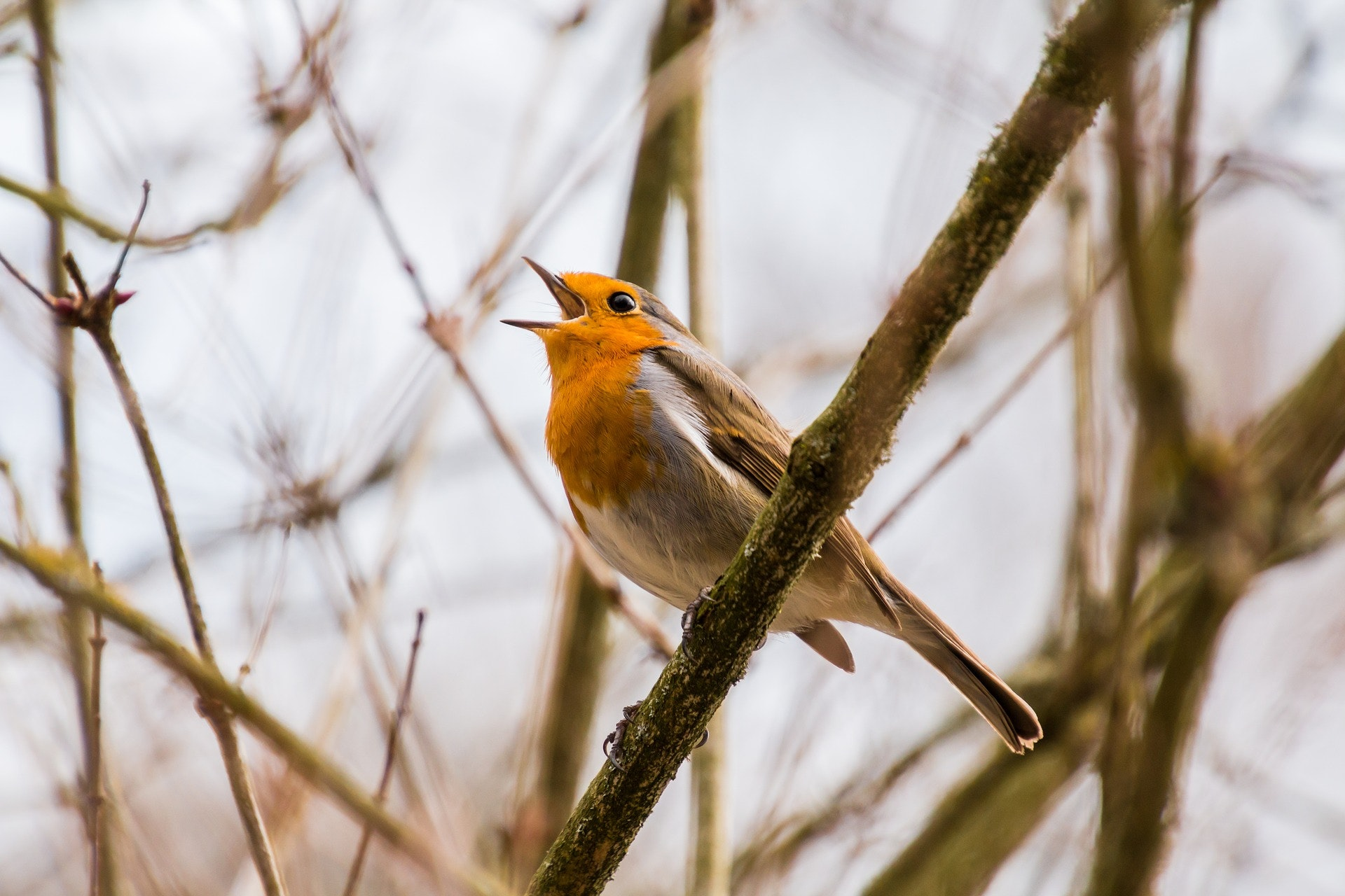 New Study Upends a Common Conception About a Bird's Song