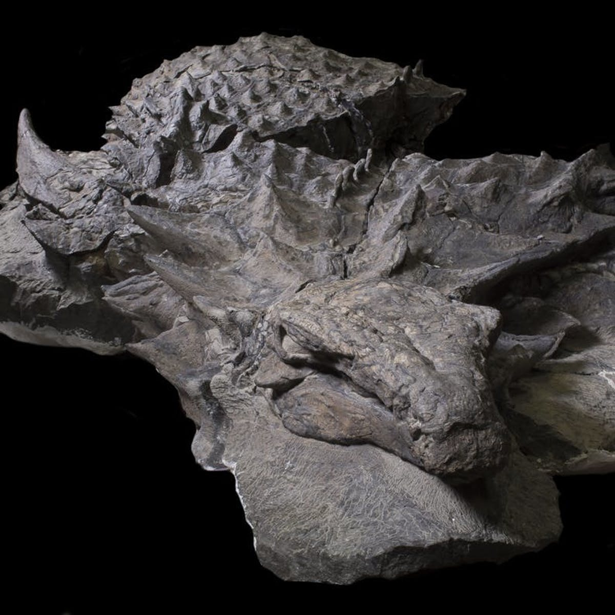 How Alberta's Famous Nodosaur Became So Exquisitely Preserved | Inverse