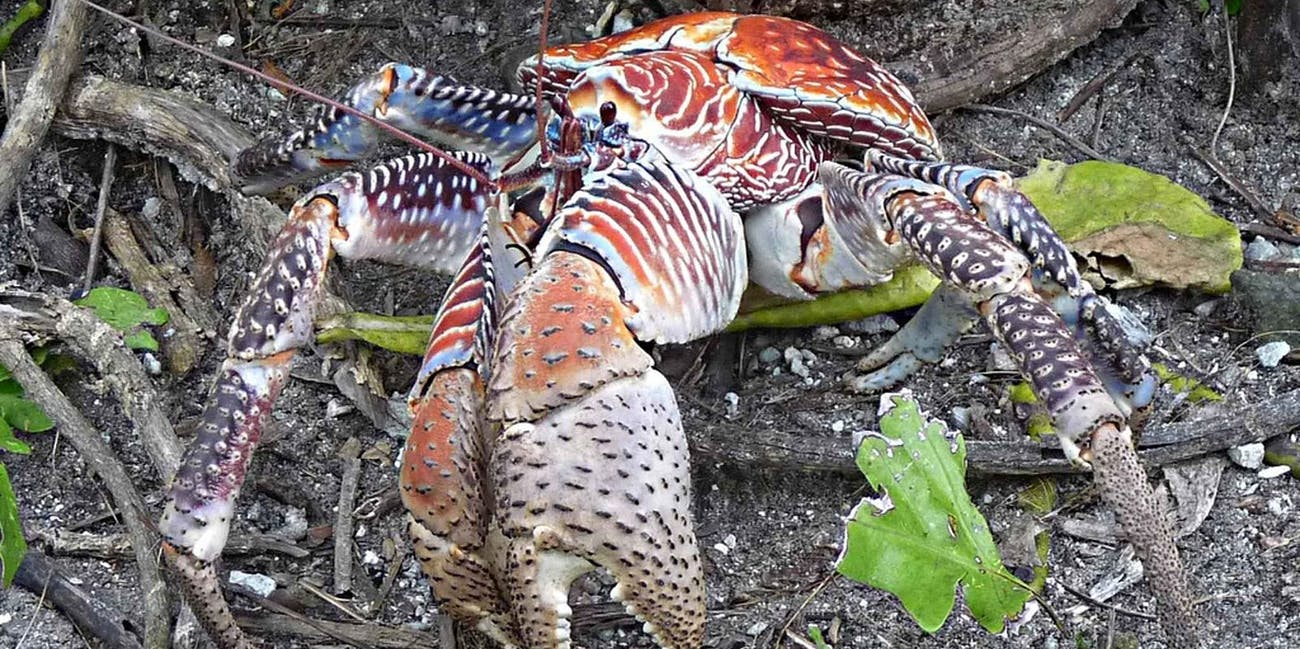 Coconut crab killer crab Amelia Earhart forensic dogs