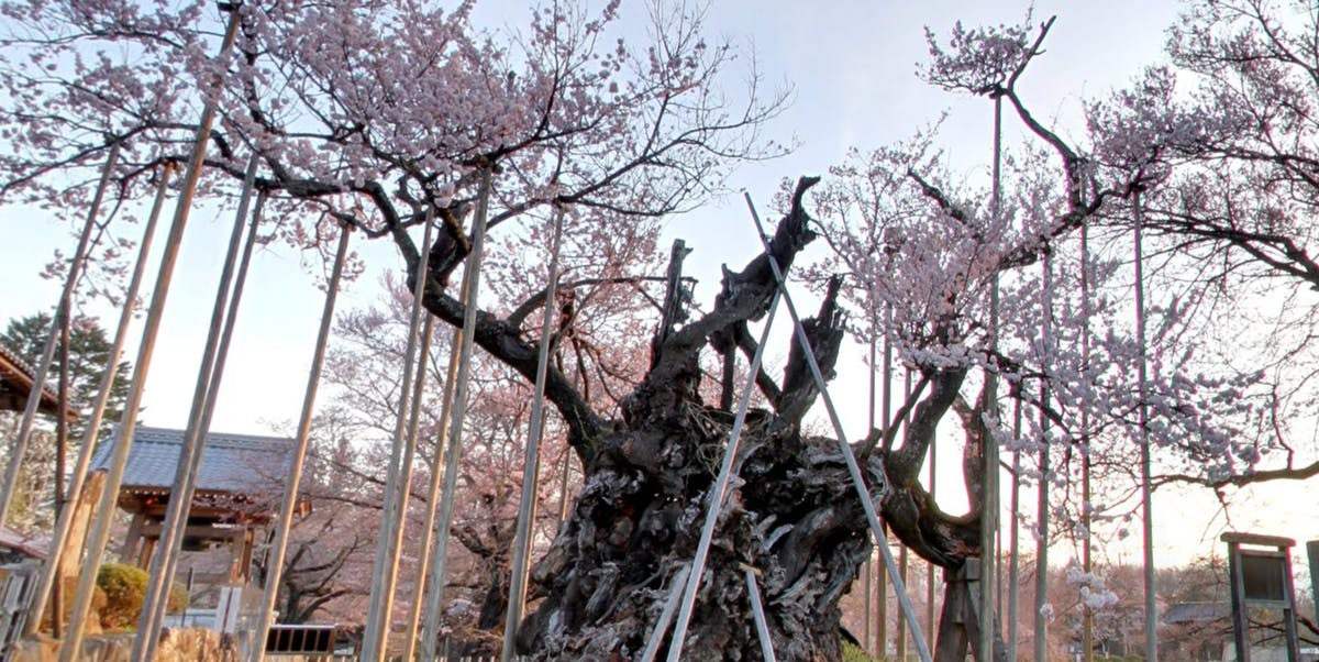 Japan Cherry Blossom Tree