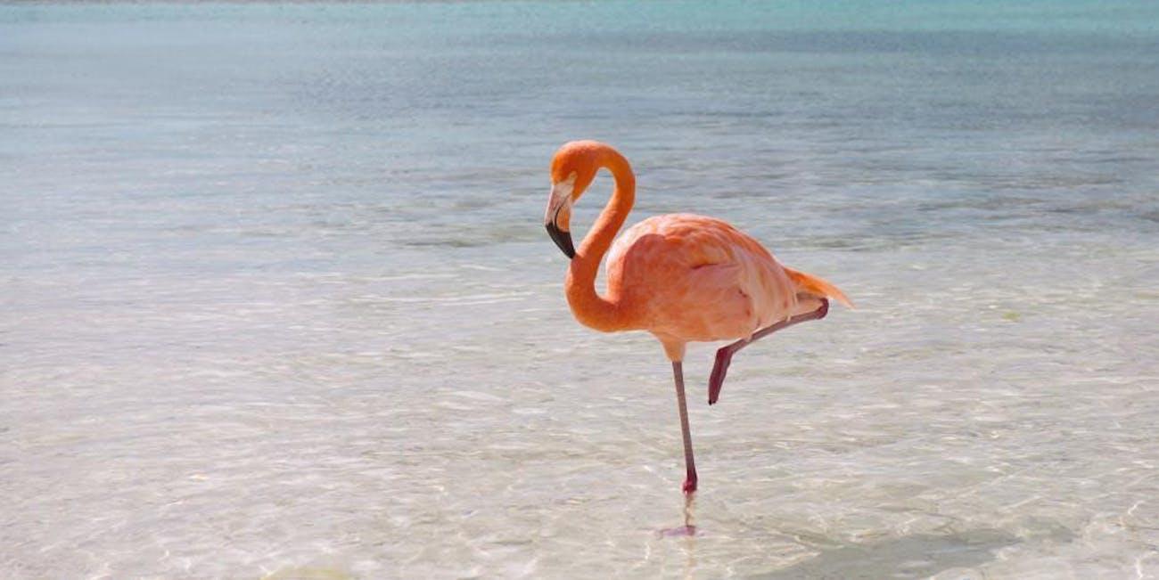 How Do Flamingos Balance on One Leg? | Inverse