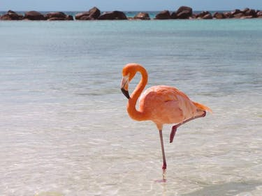 The Neuromechanics of the Flamingo's Balancing Act