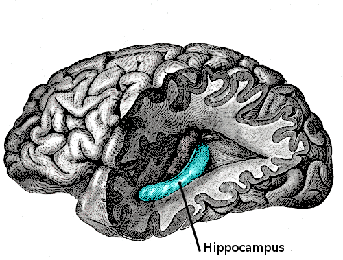 The blue bit is the hippocampus.