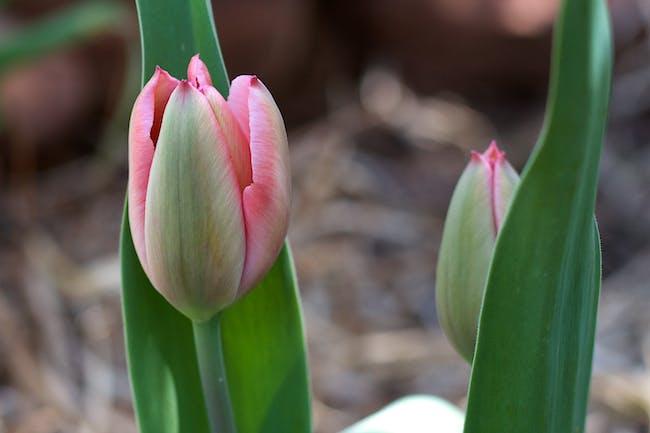 It's Tulip Time
