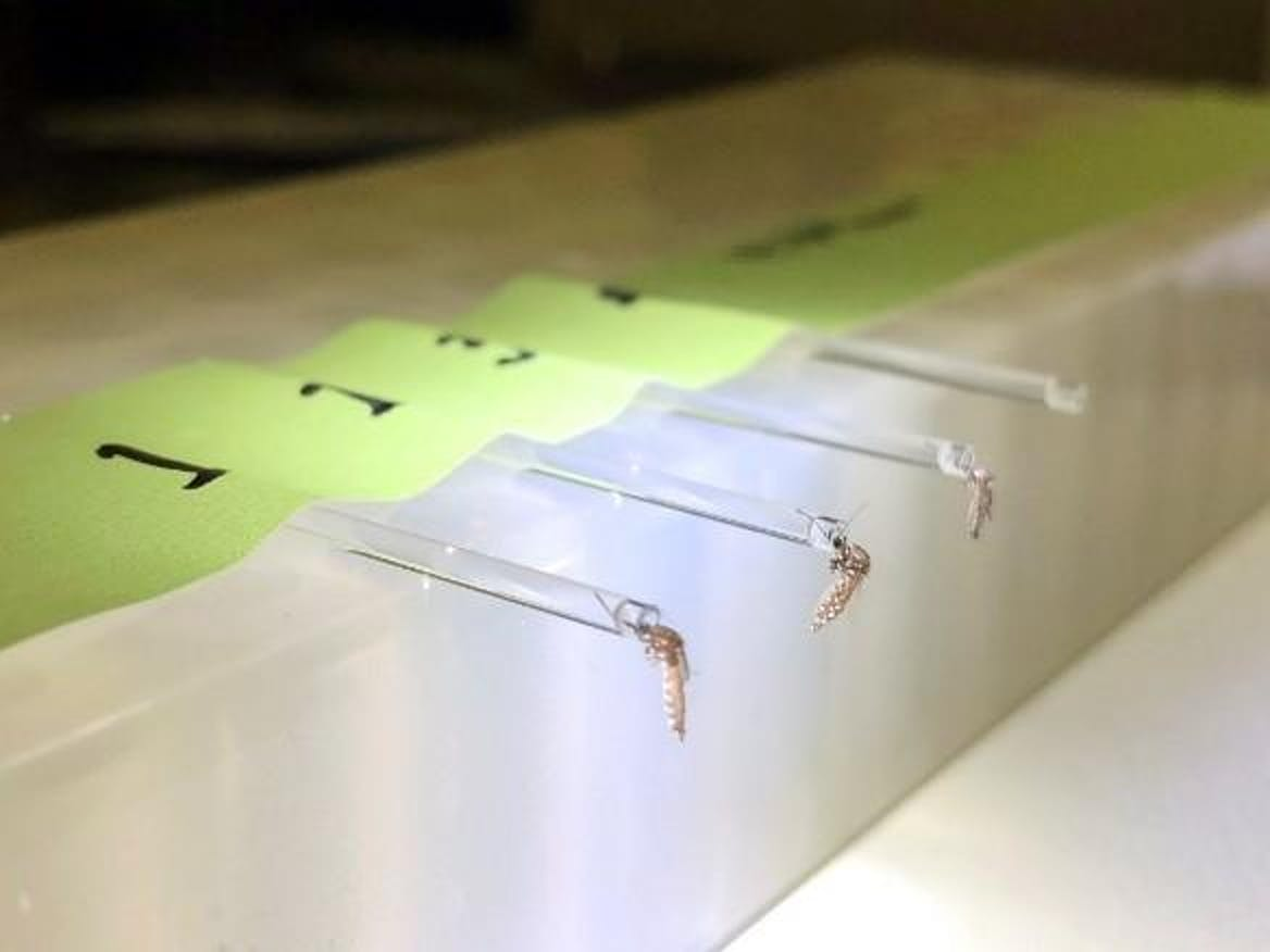 A collection of Aedes saliva for Zika virus testing