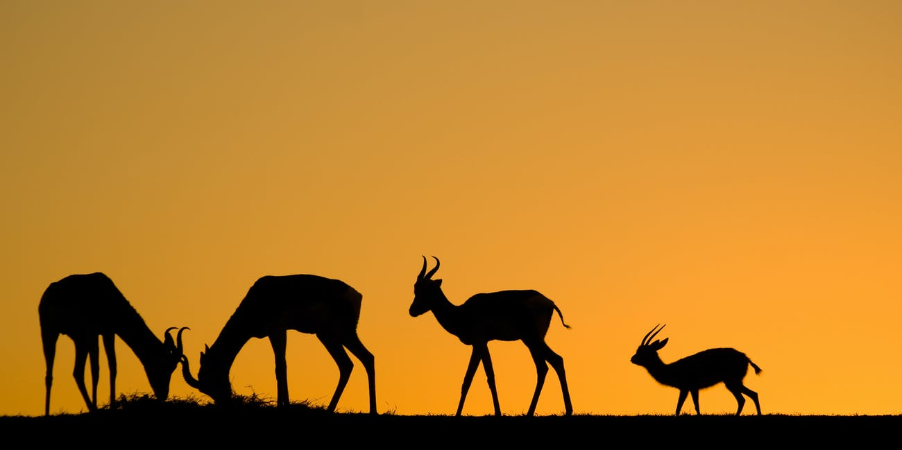 gazelles at sunset
