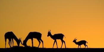 gazelles at sunset