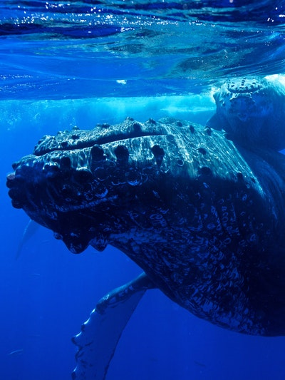 New Whale Recordings Reveal Purpose of a Language, Unchanged Since 1976