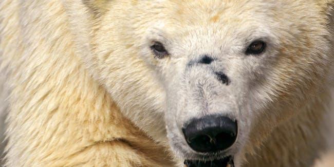 Polar bear siege Russia