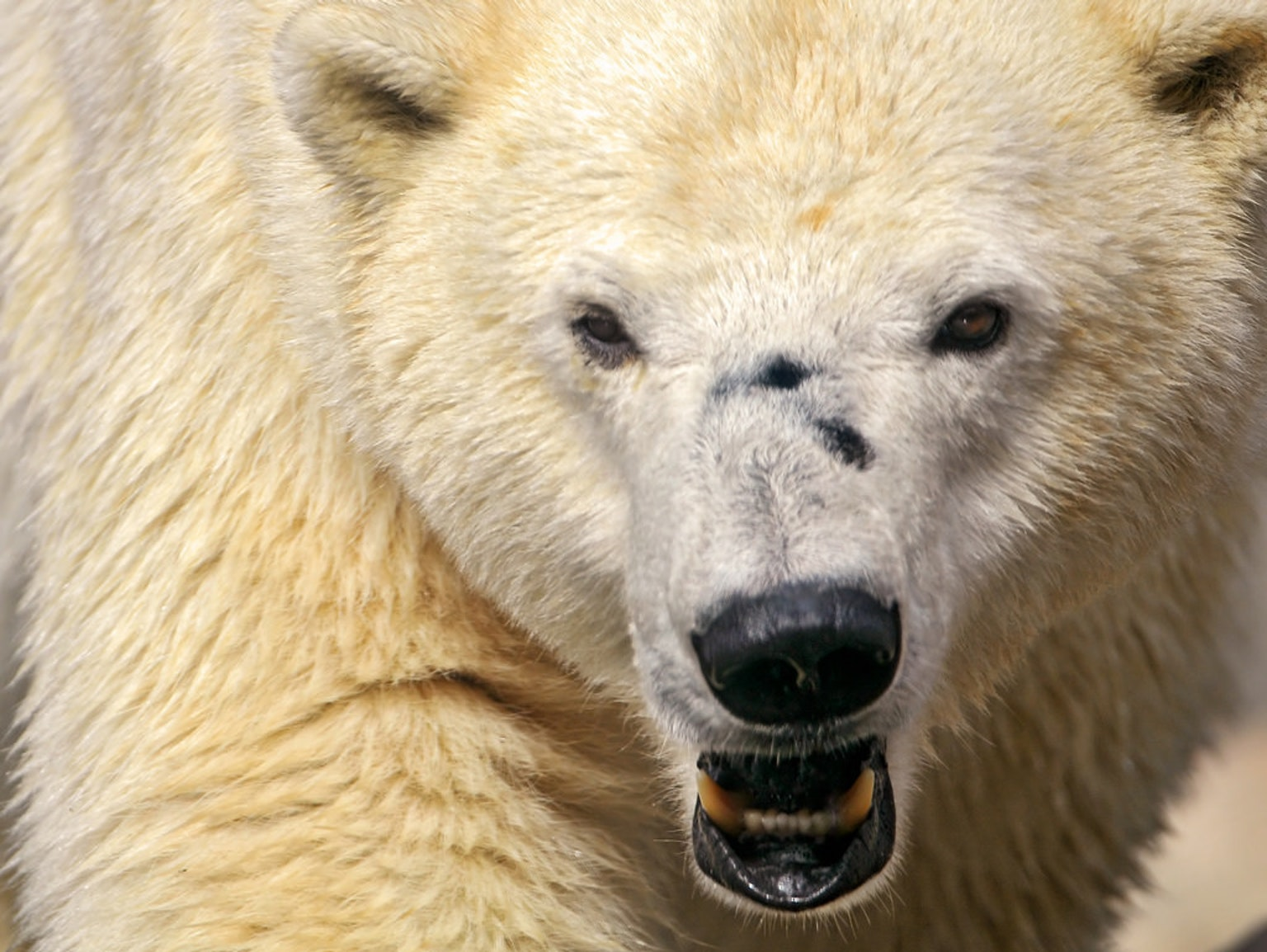 Expect More Polar Bear Sieges, Thanks to Climate Change