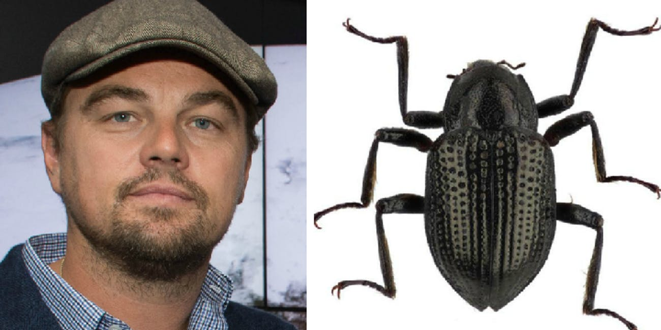 Leonardo Dicaprio and his namesake beetle.