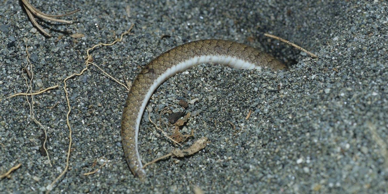 kukri snake
