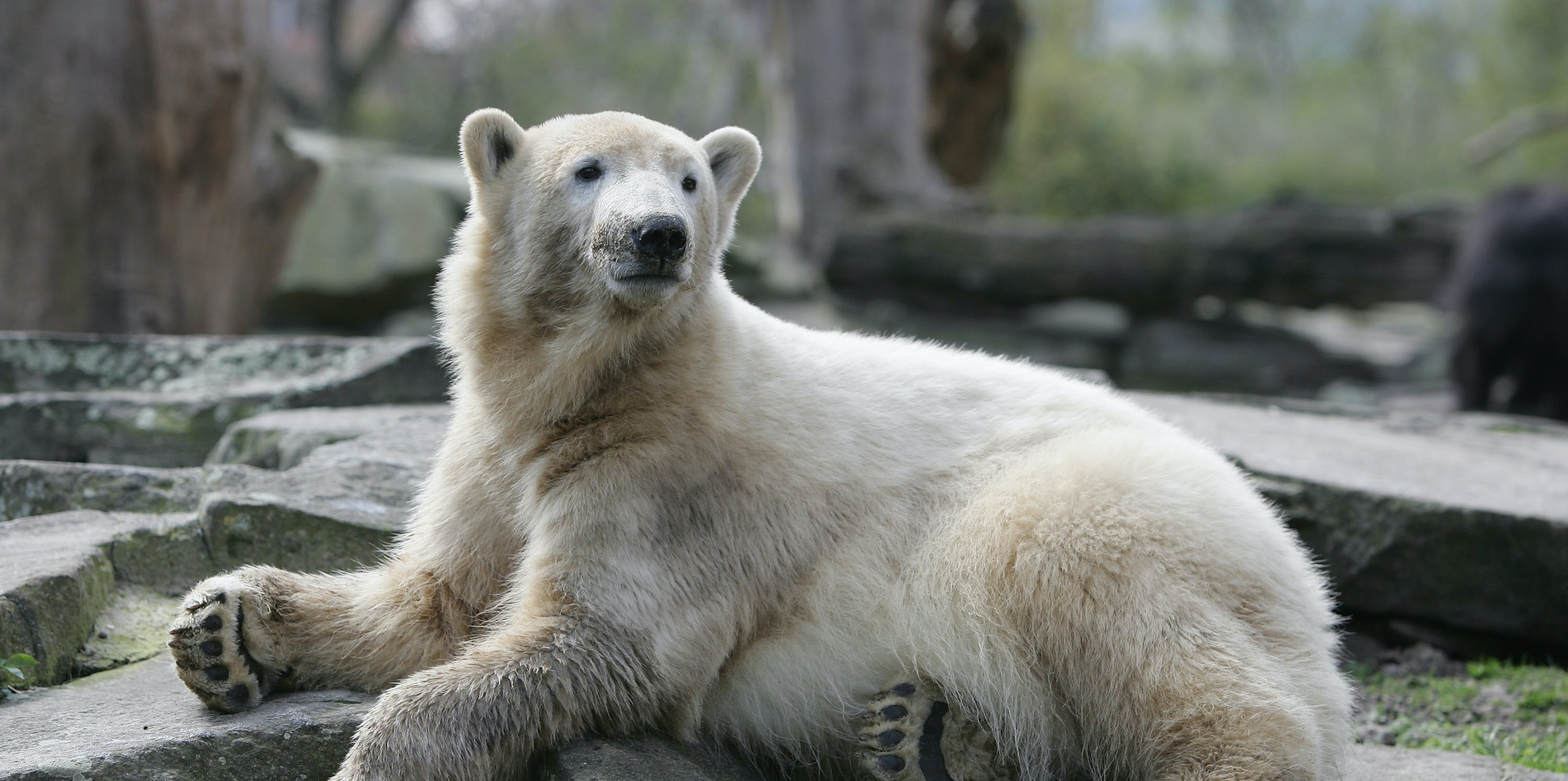 Polar bear Knut sits in his enclosure at the zoo on April 8, 2008 in Berlin, Germany. Knut, who became a world star when he survived rejection by his mother, has to share the media's interest with a female polar bear cub born at the zoo in Nuremberg, southern Germany, where Flocke is to be introduced today to the public.