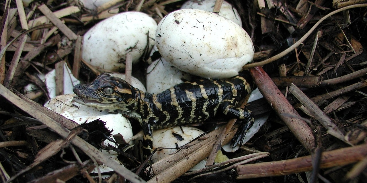 Alligators aren't dinosaurs, but when they first hatch they look pretty darn close.